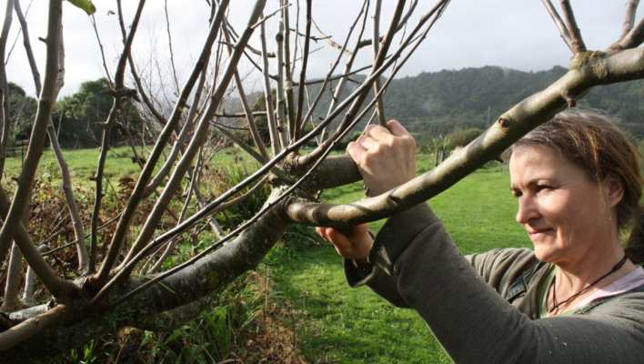 pruning out the clutter in Hetlina apple tree ediblebackyard nz