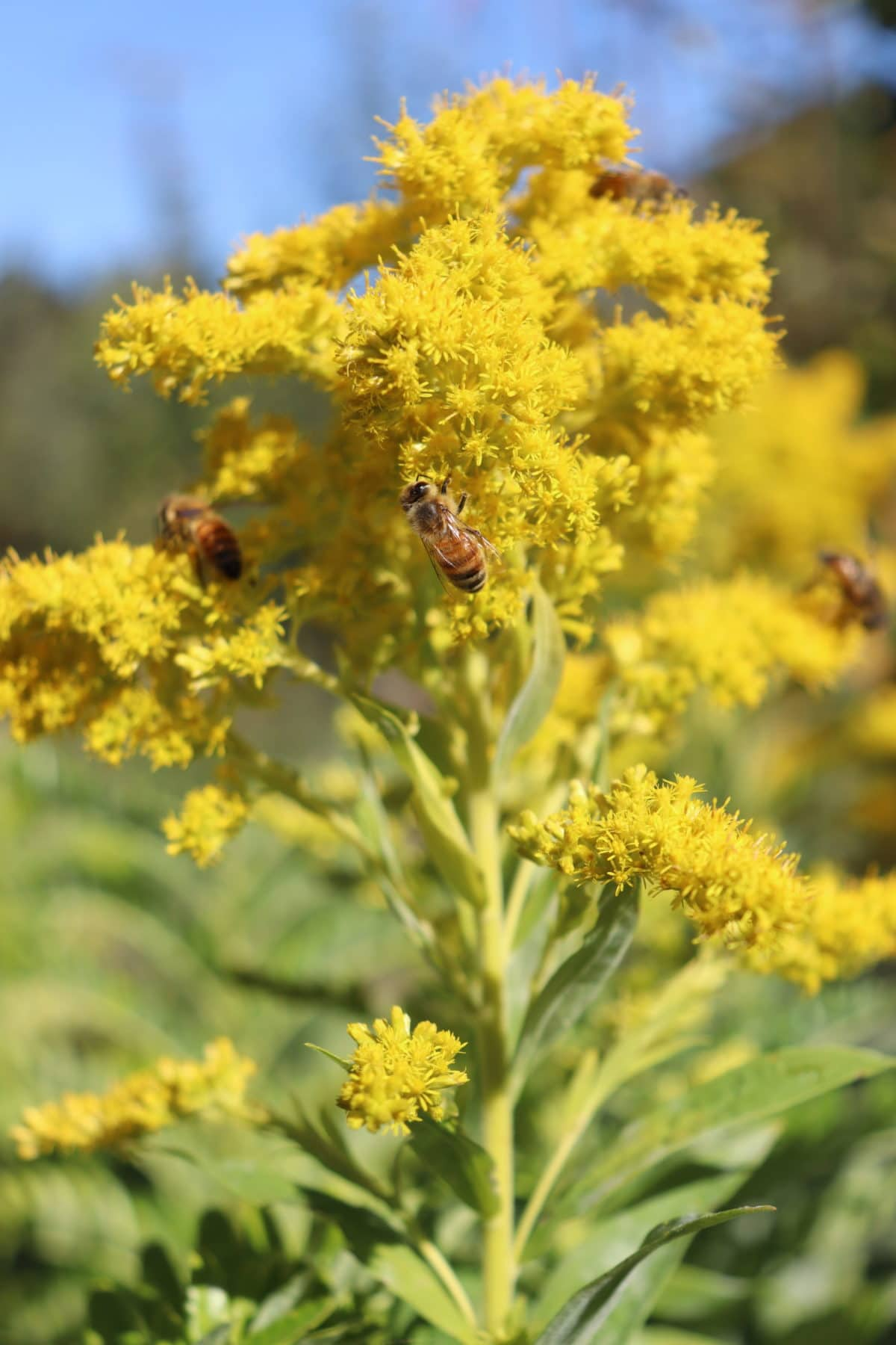 golden rod is a covered in bees when it flowers in autumn