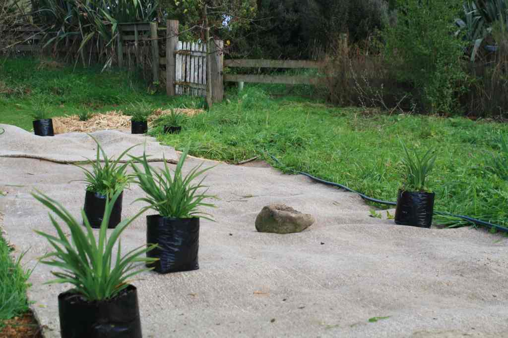 Emerald gem flaxes laid out in situ before digging holes and planting