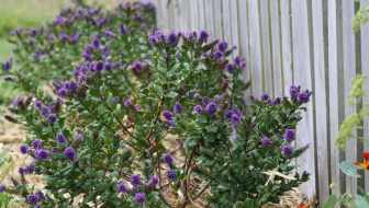 Hebes in front of a slat fence - a low shelter around the northern line of the vegie patch