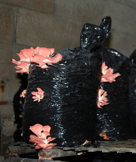 70 Pink oyster mushrooms growing in bags
