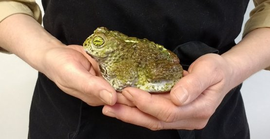 A highly realistic painted chocolate toad held in someones hands against a black background