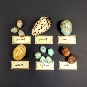 Collection of realistic British Bird's eggs made in chocolate with hand written descriptive museum labels Blackbird Guillemot Raven Capercaillie Song Thrush Merlin