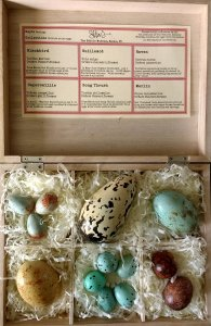 Collection of realistic British Bird's eggs made in chocolate in a wooden presentation gift box with a descriptive museum label