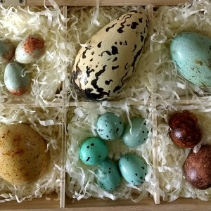 Cut out image of a Collection of realistic British Bird's eggs made in chocolate in a wooden presentation gift box
