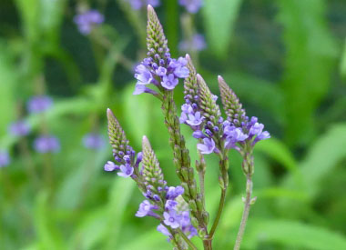 Blue Vervain Pictures Flowers Leaves And Identification