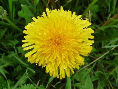 Image result for dandelion pics