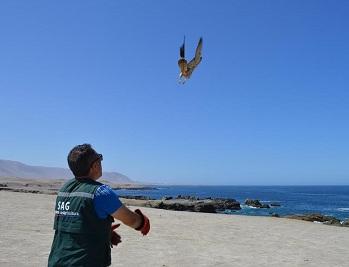 halcon-peregrino