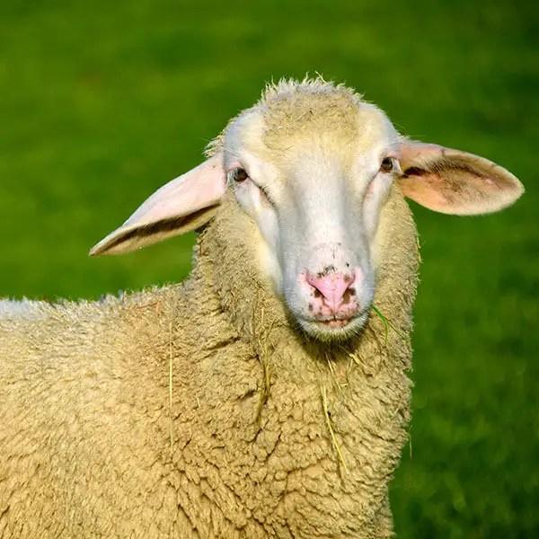Sheep Fiber Festival