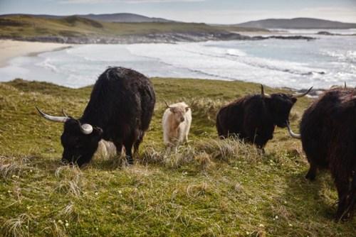 Happy beasts grazing on Vallay