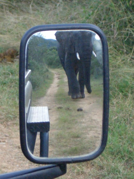 On safari - but this is an African elephant - the difference being they have bigger ears