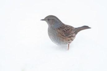 Dunnock in the snow.jpg