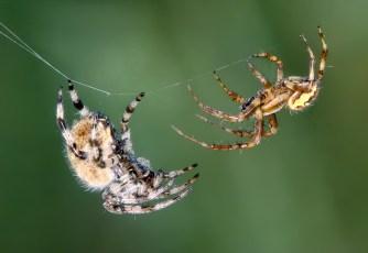 Female and male araenus quadratus-3