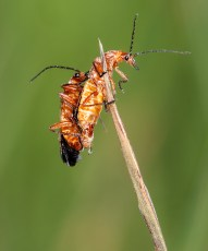 Soldier beetles mating-1