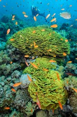 Lettuce corals and diver-3