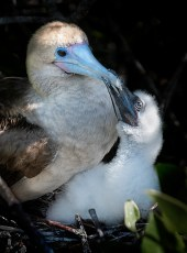 Red footed boobie and chick