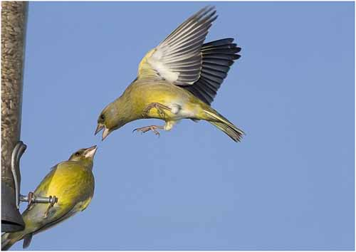 01_Fighting Finch