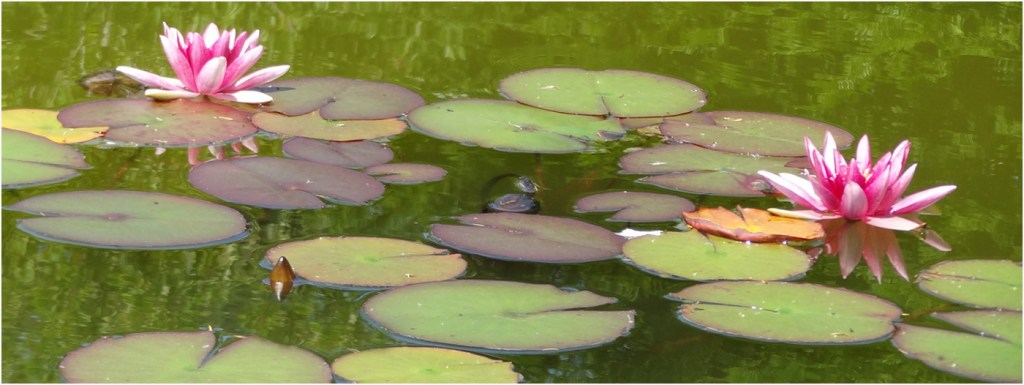 Water Lilies by Isobel Lindsay