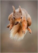 Jim Moir - Red Squirrel Leap