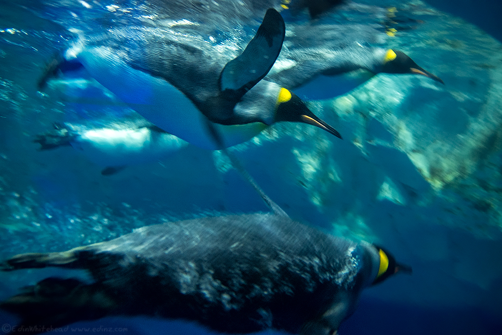 KT_King_Penguins__DSF2488-Edit6x4WEB.jpg