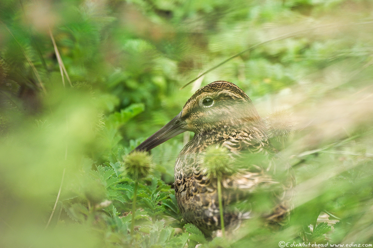 Enderby_Auckland_Snipe_TW7_5584-Edit6x4WEB