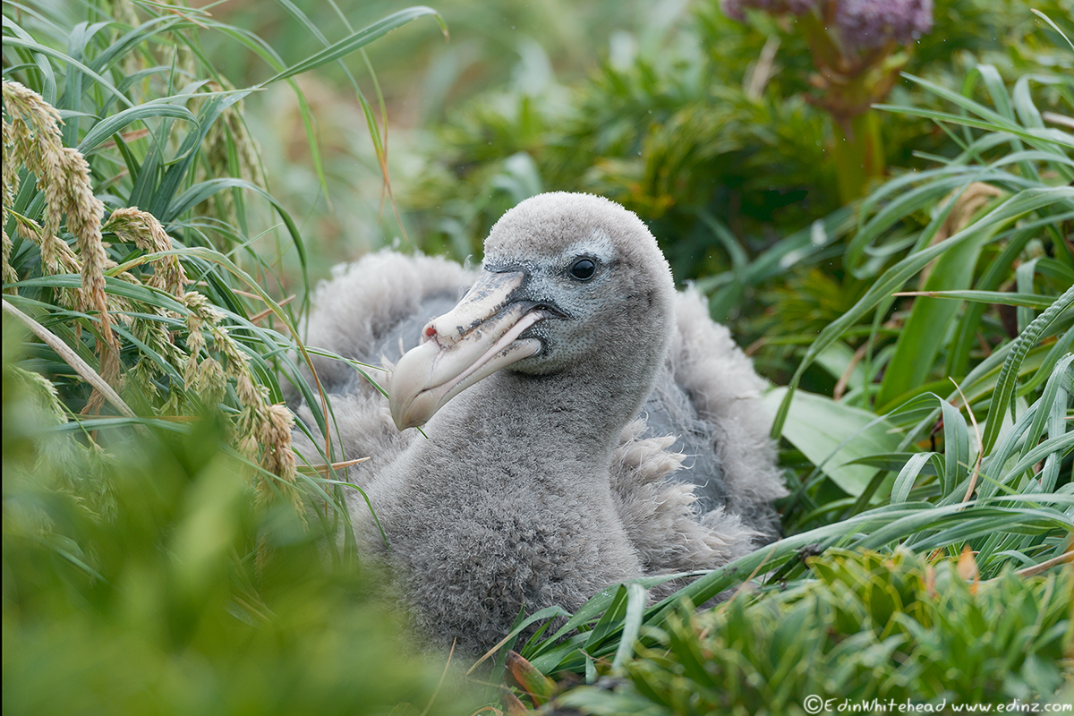NGPetrel_Chick_Enderby_TW7_4528-Edit6x4WEB