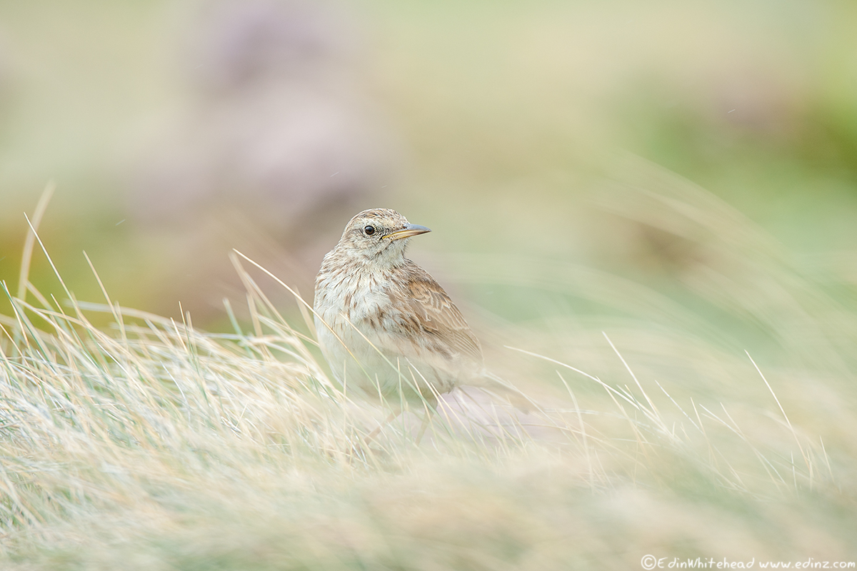 Pipit_Enderby_TW7_4420-Edit6x4WEB