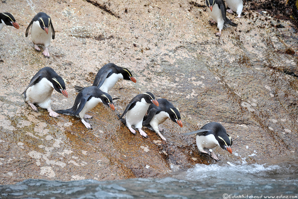 Snares_Penguin_Slide_TW7_5264-Edit6x4WEB