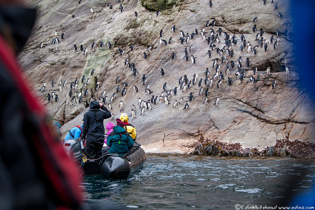 Snares_Penguin_Slope_TW7_3832-Edit6x4WEB