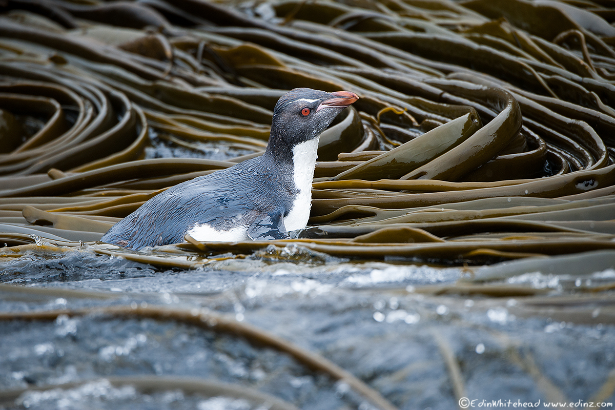 Rockhopper_Kelp_Macca_TW7_0314-Edit6x4WEB