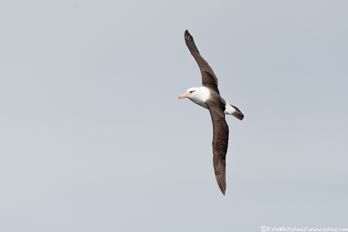Campbell_Albatross_TW7_3819-Edit6x4WEB