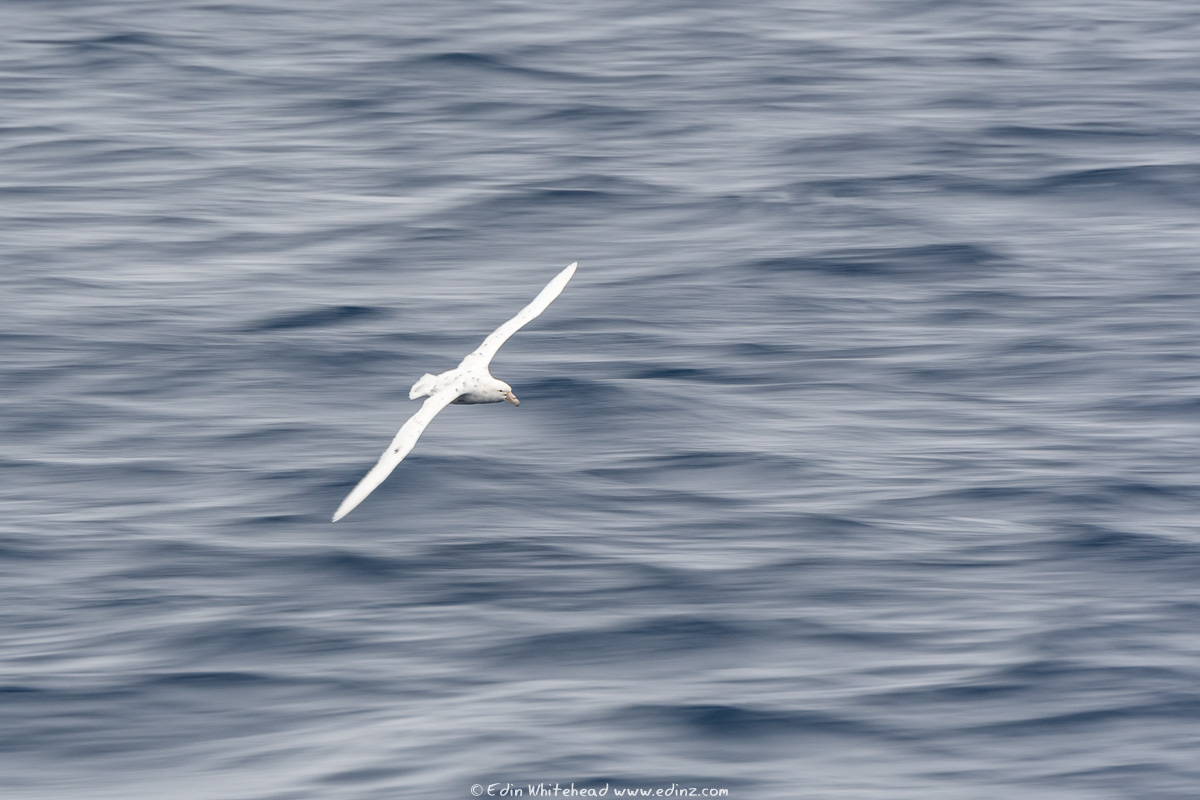 whitemorph_sgpetrel_eaw_9329-edit6x4web