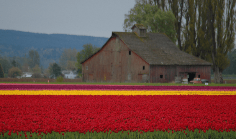Skagit Valley Tulip Festival Red Barn with Red and Yellow Tulips