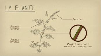 Ambroisie — La-plante
