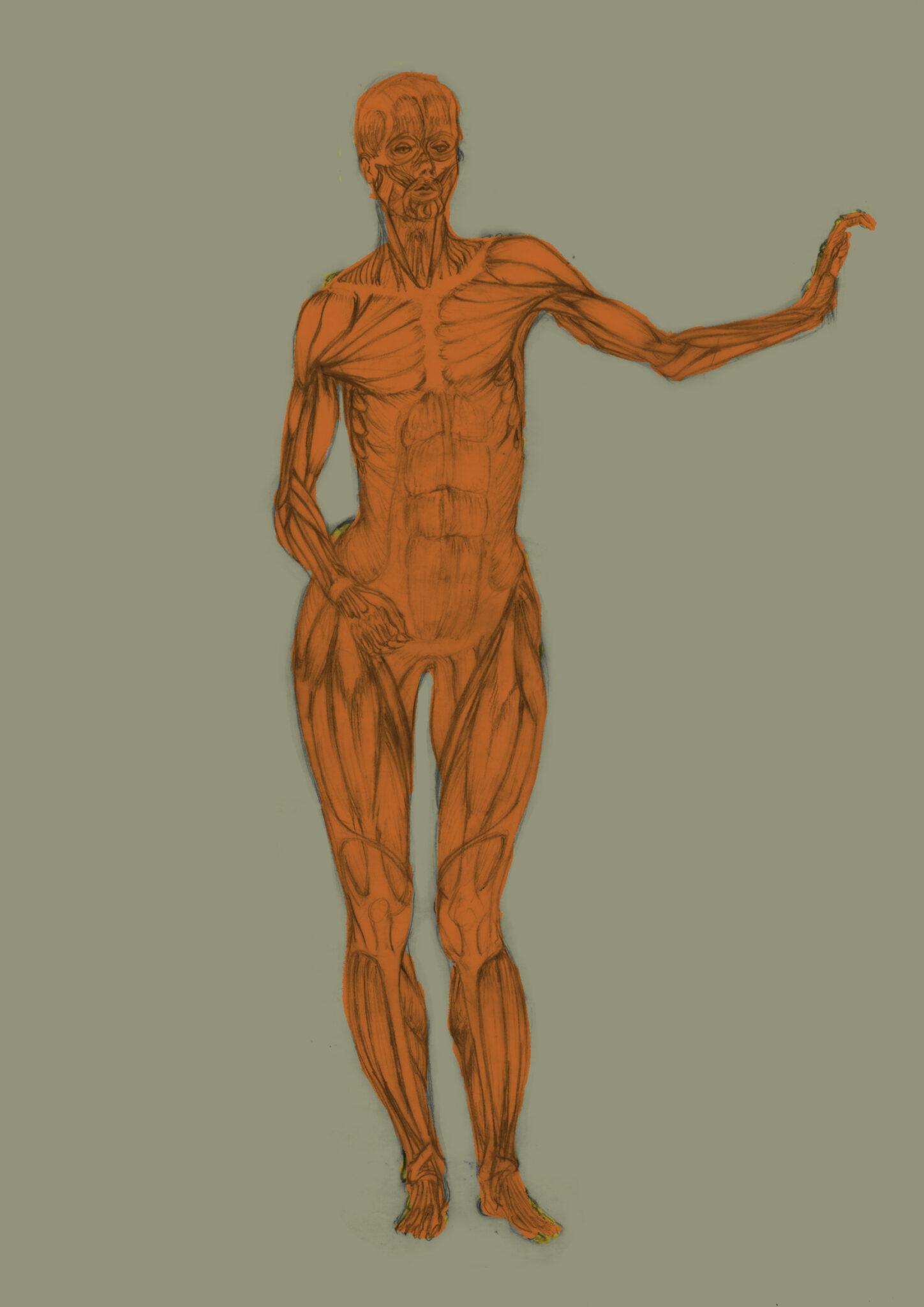 Muscles (crayon, colorisation numérique)