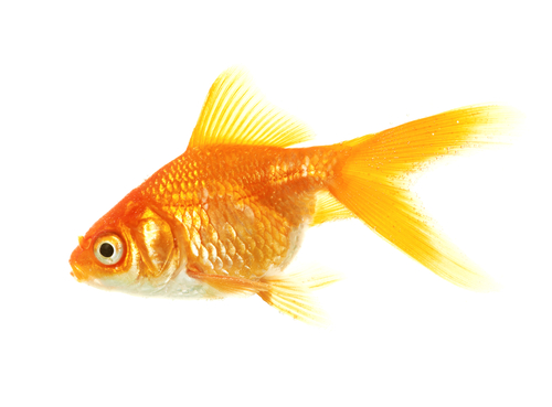 Where Do Goldfish Lay Eggs