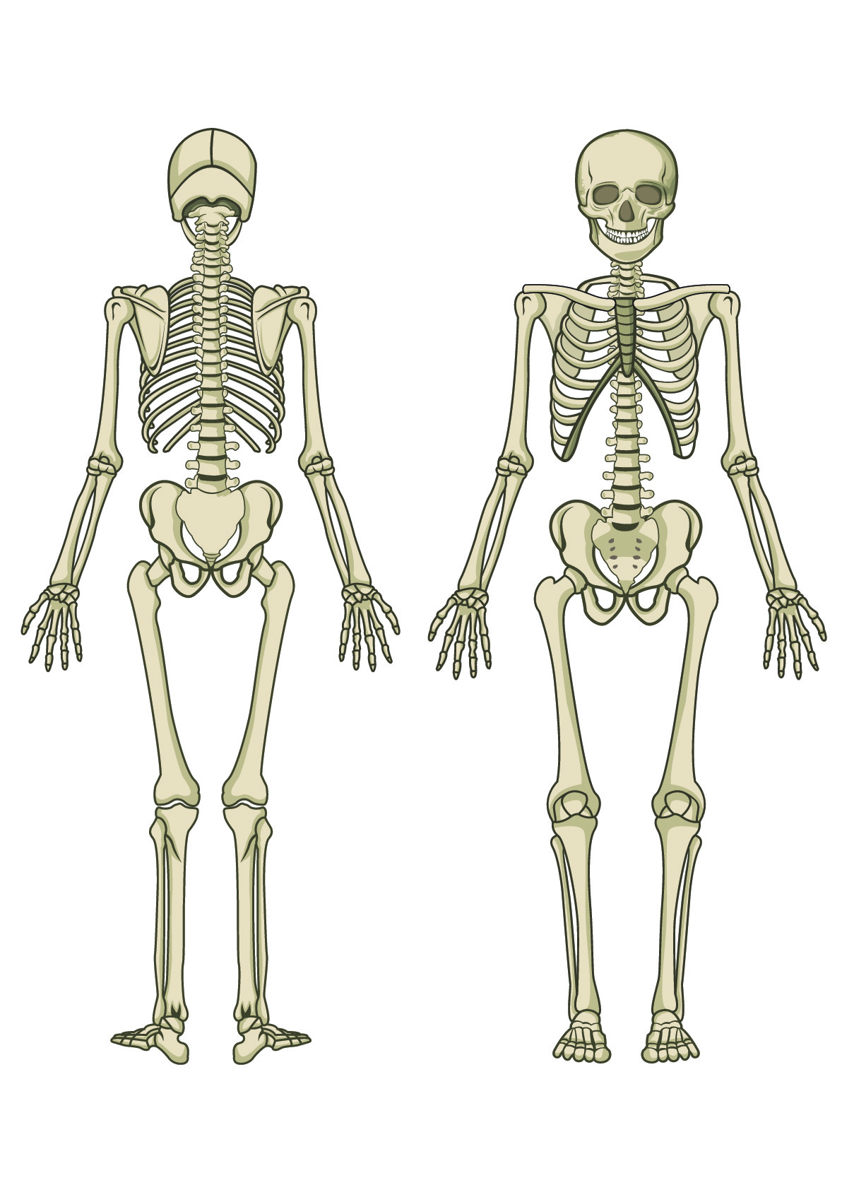 Worksheet Skeletal System Adults