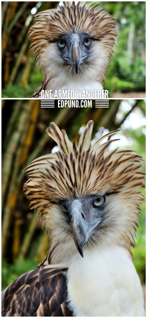 fighter philippine eagle davao