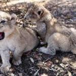 birth of lioness cub