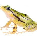 India's newest frog evolved 60 million years ago
