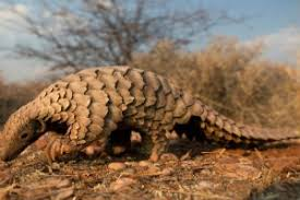 Pangolins are under threat of extinction