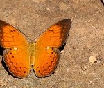Tamil Nadu declare a State Butterfly
