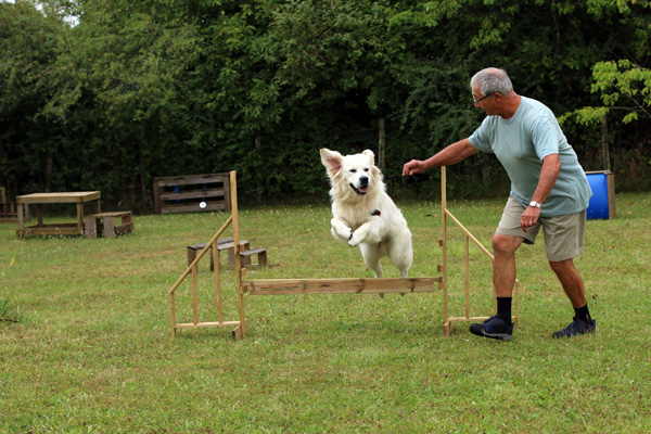 Golden retriever agility