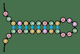 RNA stem loop
