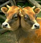 two-headed-cow