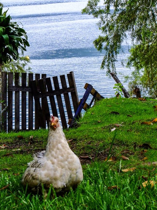 La gallina San Pedro La Laguna, Sololá, Guatemala