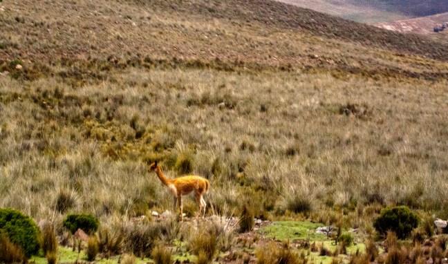 La llamita Carretera arequipa a Puno, Perú
