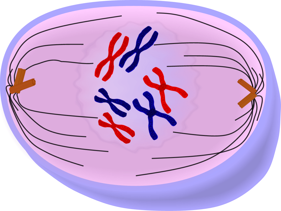 Image result for prophase