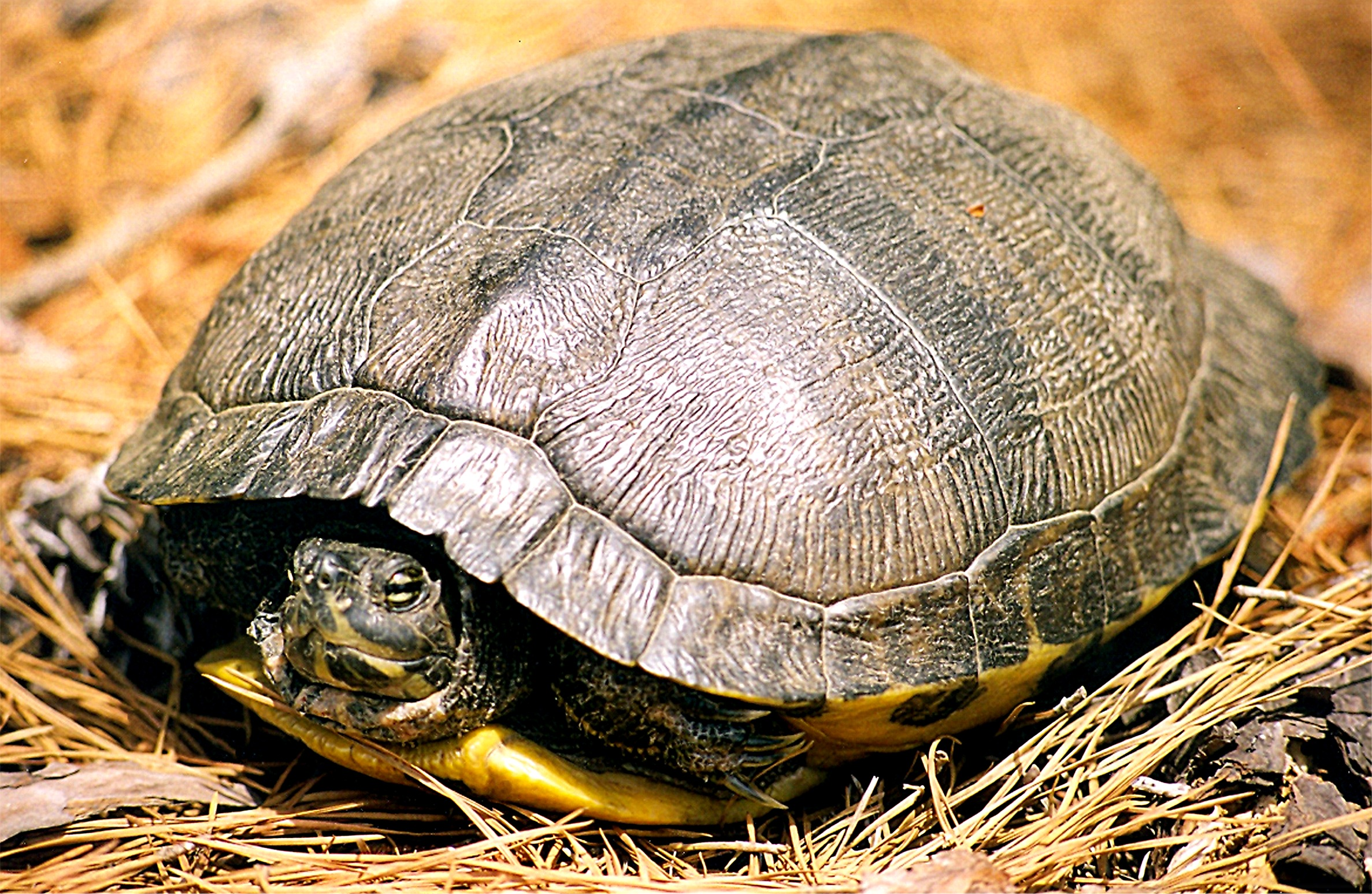 Turtle A Amphibian Or A Reptile