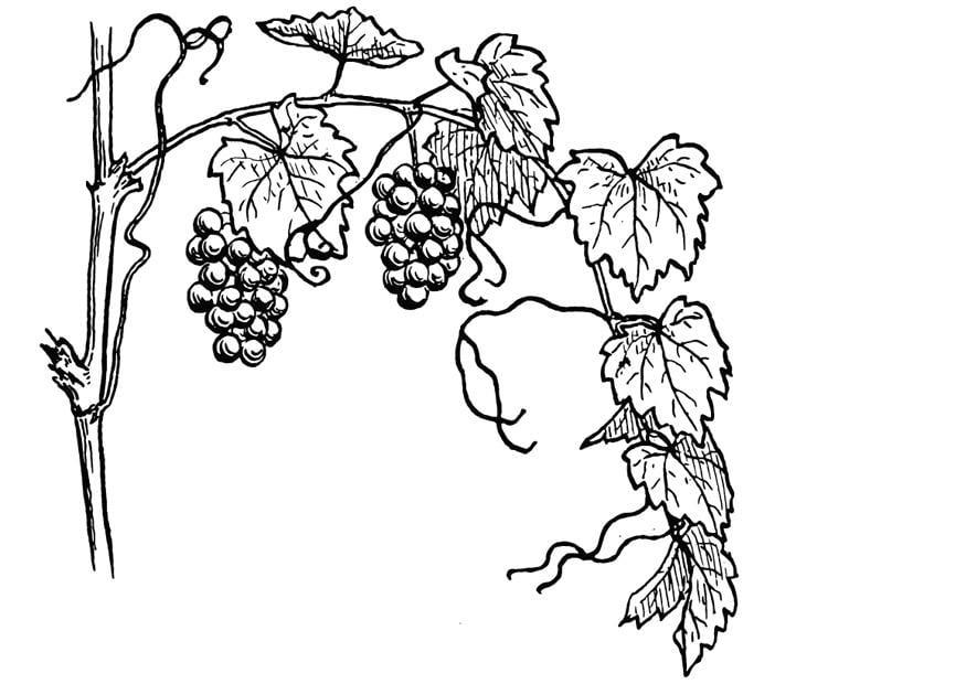 coloring page grape vine img 13075